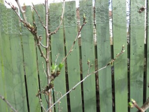 plum tree buds