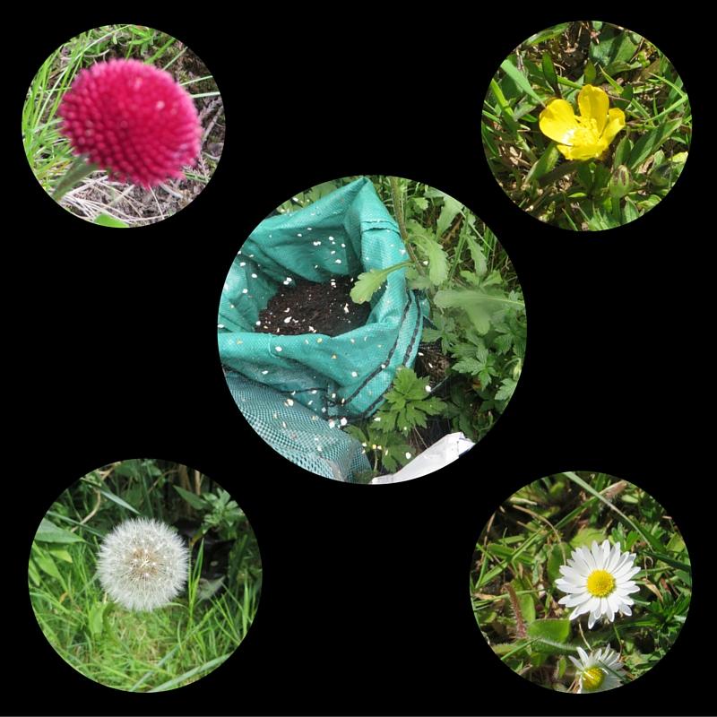 bellis, buttercup, dandelion clock, daisy, spider's web