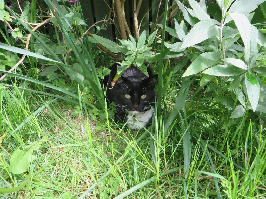 Black cat under a buddlea bush