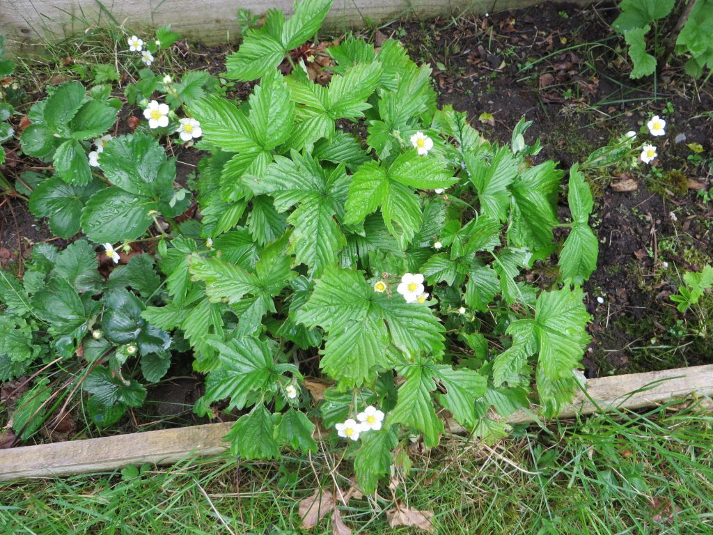 alpine strawberry bush