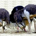Ostriches-head-in-sand2