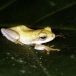 Burmese frog