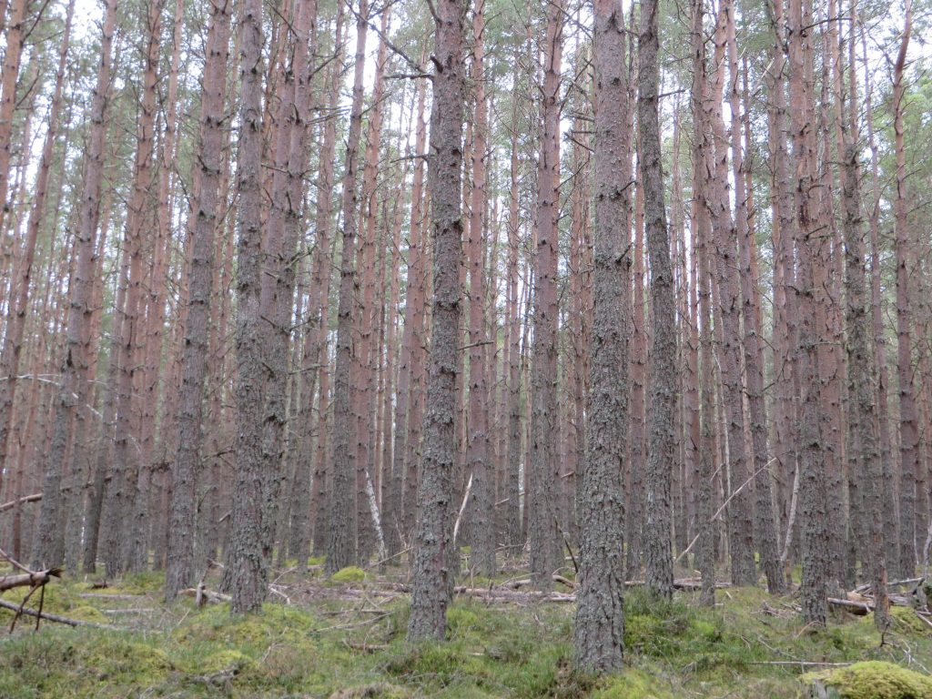 Bad pine forest