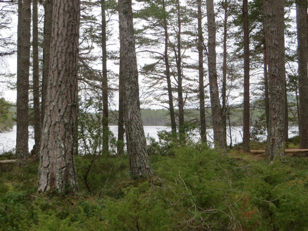 good pine forest