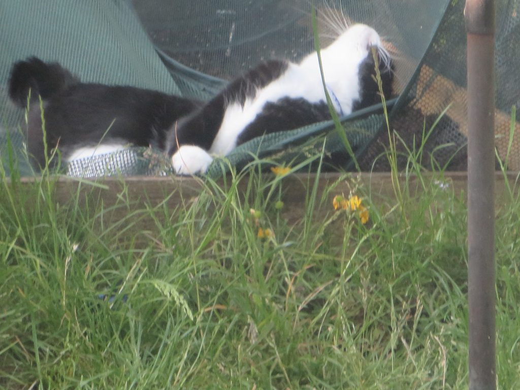 cat lying on back