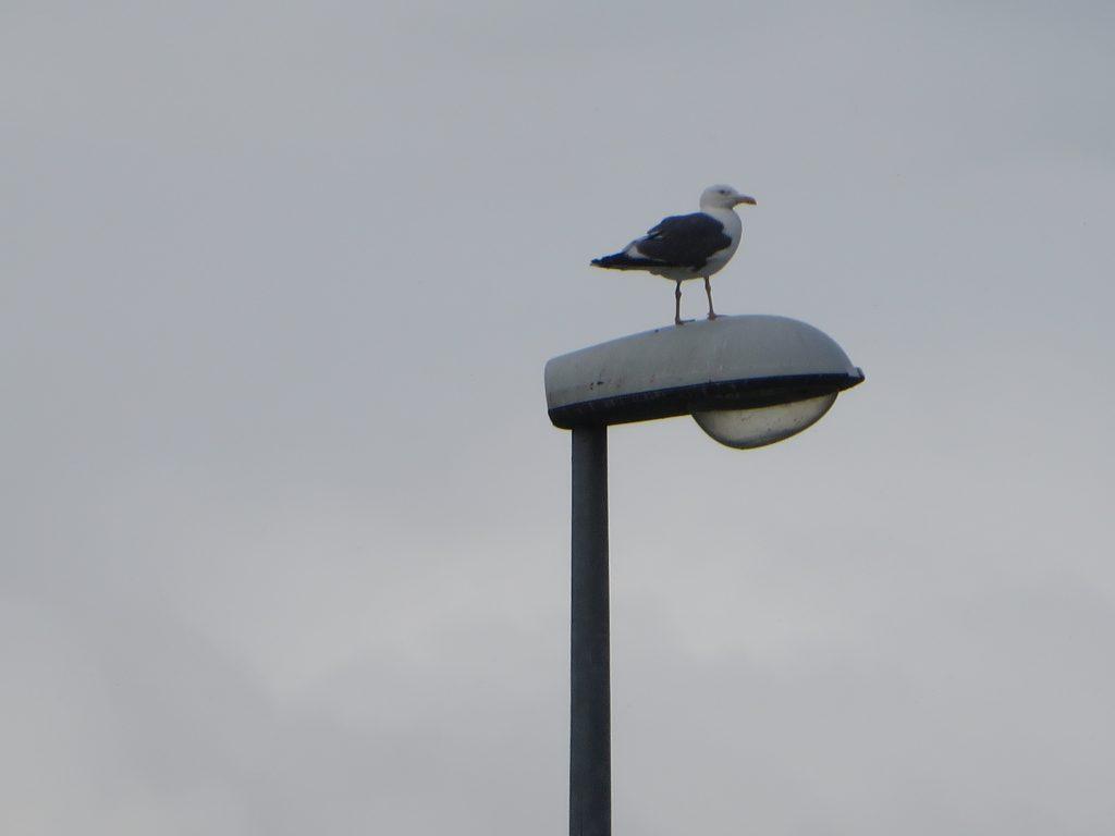 seagull on lamppost
